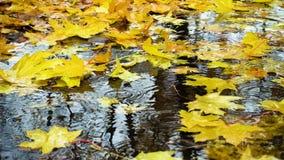 Regn tappar att falla på pöl med de gula lönnlöven stock video