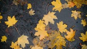 Regn tappar att falla på pölen med gula lönnlöv arkivfilmer