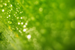 Regn tappar och ny grön bladtexturbacground Royaltyfri Foto