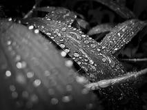 Regn tappar på ett blad, svartvitt foto arkivfoto