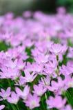 Regna liljan (den felika lilja-, Zephyranthes roseaen) som blommar i trädgård, p Arkivfoton