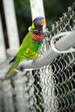 Regnbåge Lorikeet Royaltyfri Foto