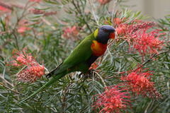 Regnbåge Lorikeet Australien Arkivfoton