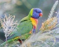 Regnbåge Lorikeet - Gold Coast Australien Royaltyfri Fotografi