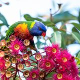 Regnbåge Lorikeet som tycker om Eucalyptblommor Arkivfoton