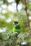 Regnbåge Lorikeet, västra Australien Arkivbild