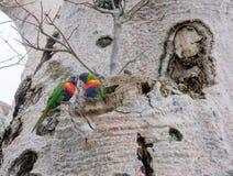 Regnbåge Lorikeets i det Boab trädet Fotografering för Bildbyråer