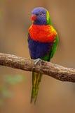 Regnbåge Lorikeets, Trichoglossushaematodus, färgglat papegojasammanträde på filialen, djur i naturlivsmiljön, Australien _ Fotografering för Bildbyråer