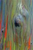 Regnbågeeukalyptus Arkivbild