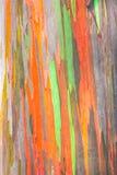 Regnbågeeukalyptus Royaltyfri Foto