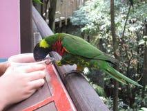 Regnbågelorikeet eller papegojafågel Royaltyfri Fotografi