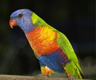 Regnbågelorikeet i Australien Arkivbild
