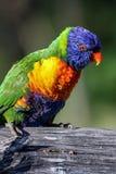 Regnbågelorikeet i Australien Royaltyfri Fotografi