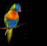 RegnbågeLorikeet papegoja Arkivfoto