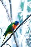 Regnbågelorikeetsittpinnen i ett träd Royaltyfri Fotografi