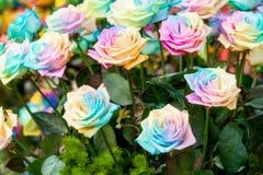 Regnbågerosor Royaltyfria Bilder