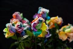 Regnbågerosor med svart bakgrund Royaltyfria Bilder