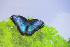 Regnbågsskimrande blå Morpho fjäril på väggen Arkivbild