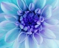 Regnbågsskimrande blom för turkosdahliablomma Makro blå mitt closeup härlig dahlia För design Royaltyfria Bilder