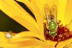 Regnbågsskimrande grönt bi på den gula blomman Arkivbild
