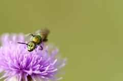 Regnbågsskimrande grönt bi på lilablomman Royaltyfri Foto