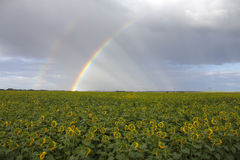 Regnbåge under solrosor Royaltyfri Fotografi
