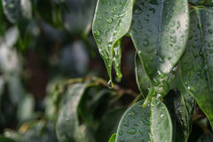 Regndroppar för blad för benjamina för fikus för närbildregndroppe fallande gröna i detalj Arkivbilder