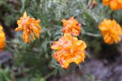 Regndroppar fryste på blommorna arkivfoto
