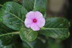 Regndroppar på blomman Royaltyfri Bild