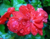 Regndroppar på blomman Arkivbild