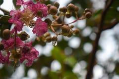 Regndroppar på blommor, rosa färgblommor Royaltyfri Fotografi