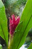 Regndroppar på den röda blomman bak det glass fönstret Royaltyfria Bilder