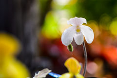 Regndroppar på den vita orkidéblomman Royaltyfri Foto