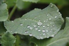 Regndroppar på det gröna bladet Arkivbilder