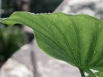 Regndroppar på det stora tropiska bladet Arkivfoton