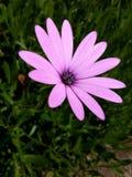 Regndroppar på en rosa blomma Royaltyfri Foto