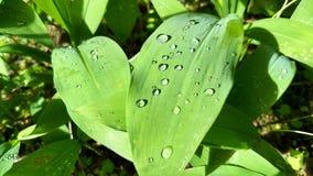 Regndroppar på ett blad av liljekonvaljen arkivbilder