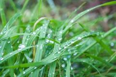 Regndroppar på gräs i morgonen Royaltyfria Bilder
