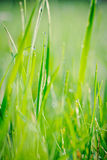 Regndroppar på grässtrån Royaltyfria Foton