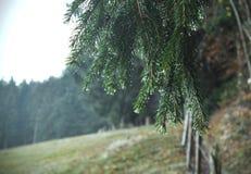 Regndroppar på grön gran-träd filial Gran-träd visar- och vattendroppar Horisontalnärbild av morgondagg på granträdfilialer med arkivfoto