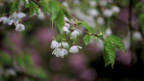 Regndroppar på gruppen av vita körsbärsröda blomningar i tidig vår arkivfilmer