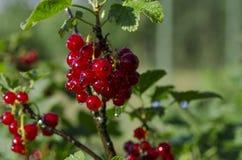Regndroppar på grupper av redcurrantbär som växer på en grön buske i trädgården royaltyfri bild