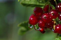 Regndroppar på grupper av redcurrantbär som växer på en grön buske i trädgården royaltyfri fotografi