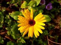 Regndroppar på guld- solbelyst gemensam ringblomma/Calendula blommar Fotografering för Bildbyråer