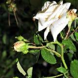 Regndroppar på knoppen lagar mat med grädde rosor under solen arkivbilder