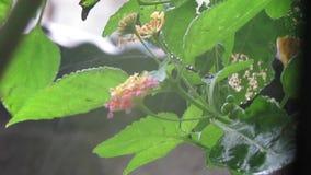Regndroppar på Lantanas växt-Indien stock video