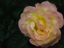 Regndroppar på rosa färg- och gulingros Arkivfoto