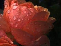 Regndroppar på rosen arkivfoton