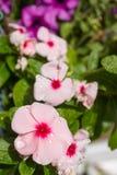 Regndroppar pryder med pärlor upp på storslaget rosa blommor av vintergrönan royaltyfri fotografi