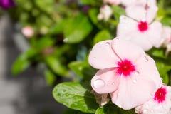 Regndroppar pryder med pärlor upp på storslaget rosa blommor av vintergrönan arkivfoton